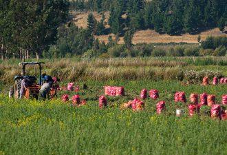 Diplomado de GORE-INIA y UCT forma a 50 becarios en producción de papa semilla en la Región